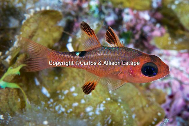 Apogon lachneri, Whitestar cardinalfish, Bahamas