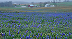 Photo by Phil Grout..Texas has its Blue Bonnets.  Carroll County has its Grape Hyacinths..A misty spring rain clings this fields of grape hyscinths along Houcksville Road near Hampstead as spring bursts on the scene trying to bust.loose from the grip of winter.