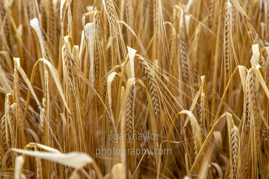 Winter barley in ear - Lincolnshire, July