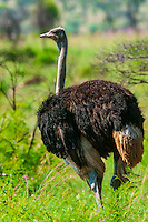 Male ostrich, Dinokeng Game Reserve, near Pretoria (Tshwane), South Africa.