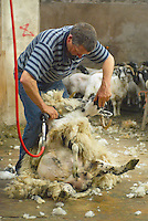 John Alpe shearing Scottish Blackface ewes at Dinkling Green Farm, Lancahire.