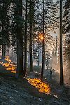 Fuels burn along Tioga Road between Gin Flat and White Wolf in Yosemite National Park.