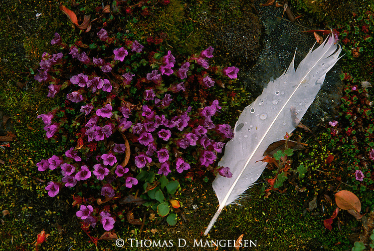 A feather from a moulting snow goose lies next to saxifrage.