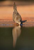 Mourning Dove (Zenaida macroura), adult at pond drinking, Rio Grande Valley, South Texas, Texas, USA