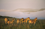 Burchell's Zebra at dawn, Equus burchelli, misty hills, Ithala, South Africa