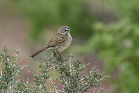 578830002 a wild sage sparrow amphispiza belli nevadensis perched in the low desert mountain chapparal of kern county california