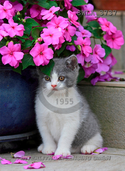 Carl, ANIMALS, photos(SWLA3737,#A#) Katzen, gatos