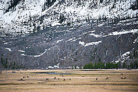 A herd of elk graze along the Madison River in Yellowstone National Park.