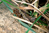 Grasshoppers mating #5478.