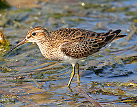 Pectoral sandpiper adult breeding at Port Aransas, TX Birding Center pond
