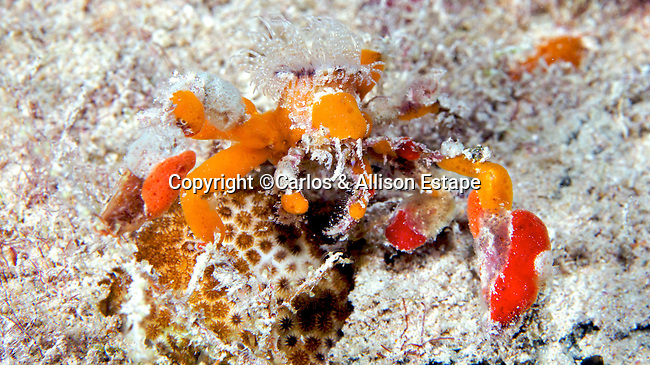 Camposcia retusa, Decorator Crab, Florida Keys