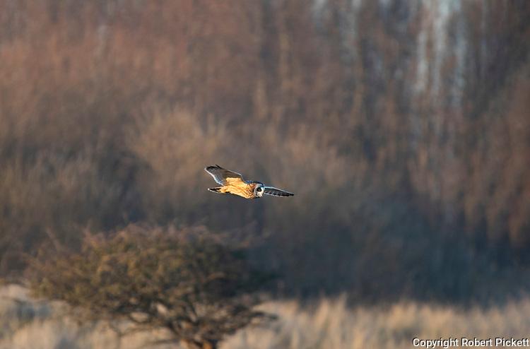 Short Eared Owl, Asio flammeus, in flight over shrubland, Sandwich, Kent UK