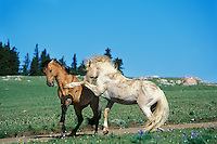 Wild Horse herd stallions meet along backroad in display of dominance behavior.  Pryor Mountains, Montana.  White stallion was made famous in PBS movie and is called Cloud..(Equus caballus)