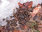 Whitetail deer droppings