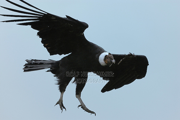 Andean Condor  (Vultur gryphus), male in flight, Puracé National Park, Department Cauca, Colombia