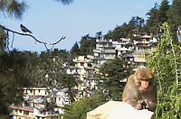 Monkies in McLeood Ganj.