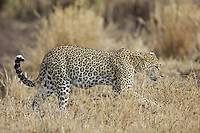 Leopard (Panthera pardus) on the prowl, Serengeti
