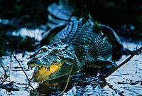Saltwater Crocodile in Yellow Waters area of Kakadu National Park.  <br /> altwater Crocodile is the largest of all living reptiles and is found in the Northern Territory. They are believed to grow to as large as 20 feet long. <br /> They can potentially eat any animal including monkeys, dangaroos, wild boar, dingos, birds, livestock, water buffalo, sharks and even humans.<br /> <br /> Before the wet, it is easier to see wildlife in this area.  Once water fills the landscape, there is more habitat and these guys slink off to their wet season territory. <br /> I started photographing this croc at dawn and the shrubs just isolated this one shaft of light that lit the inside of the crocodiles mouth.  This crocs has its mouth open so it can moderate the heat.