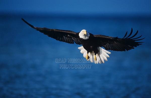 Bald Eagle, Haliaeetus leucocephalus,adult in flight fishing, Homer, Alaska, USA, March 2000