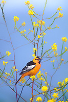 561933004 a wild male bullocks oriole in breeding plumage perches in a blooming wildflower in los angeles county california