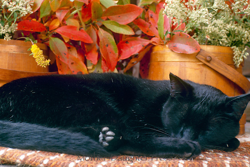 Black cat curled up sleeping on shelf of antique wooden containers with dried leaves and flowers Sepember, Midwest USA