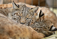 NWA Democrat-Gazette/BEN GOFF -- 03/09/15 Bobcats Dillian (left) and Sadie nap in their habitat at Turpentine Creek Wildlife Refuge near Eureka Springs on Monday Mar. 9, 2015.