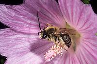 Malven-Langhornbiene, Langhorn-Malvenbiene, Tetralonia macroglossa, Eucera macroglossa, Tetralonia malvae