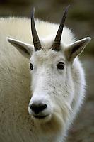 Mountain Goat (Oreamnos americanus).  Glacier National Park, Montana.