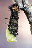 Tagpfauenauge, Raupe verpuppt sich, Puppenstadium, Metamorphose, Entwicklungsreihe, Tag-Pfauenauge, Aglais io, Inachis io, Nymphalis io, peacock moth, peacock