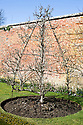 Pear 'Conference' trained into a pyramid form, West Dean Gardens, Sussex, early March.