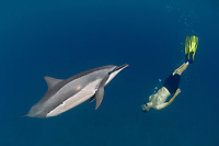snorkeler swims with spinner dolphin, Stenella longirostris, Hawaii ( Central Pacific Ocean )