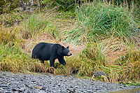Black bear along a pink salmon, western Prince William Sound, Chugach National Forest, Kenai Peninsula, southcentral, Alaska.