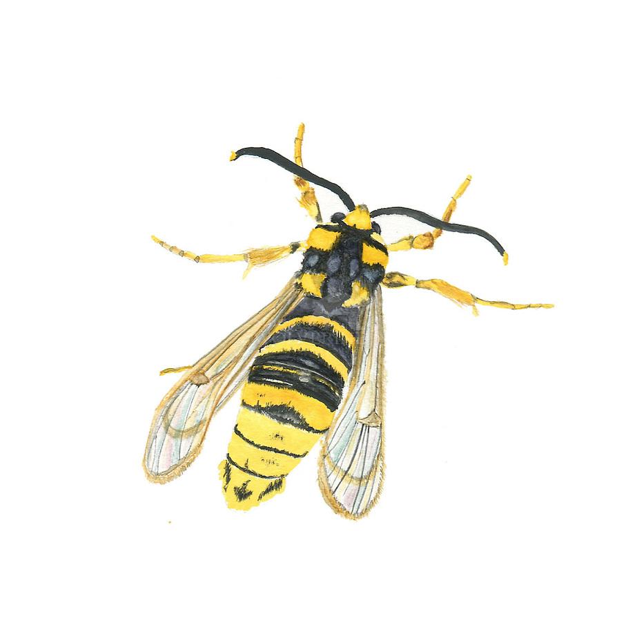 Gekraagde wespvlinder (Sesia bembeciformis)