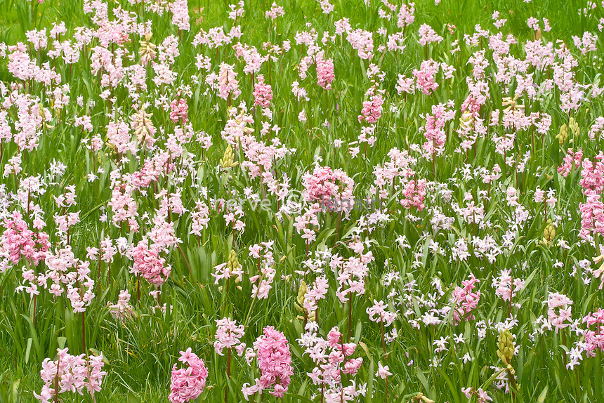 jacinthes 'Lady Derby' (Hyacinthus 'Lady Derby') et Chionodoxa 'Pink Giant' dans pelouse. Mi-mars // Dutch Hyacinths or Garden Hyacinths  'Lady Derby' (Hyacinthus 'Lady Derby') et Chionodoxa 'Pink Giant' ((Glory-of-the-snow 'Pink Giant') in the lawn