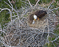 Bald eagle adult feeding chick in nest above the Snake River in Idaho