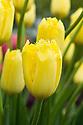 Tulip 'Maja' (Fringed Group), mid May.