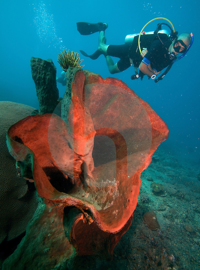 October 9th 2011_ TIMOR-LESTE_ Divers swim past large sponges and soft corals at a dive site known as Dan's Sandy Bottom, which is just over 20 kilometers west of the Timorese capital city of Dili.  Photographer: Daniel J. Groshong/The Hummingfish Foundation