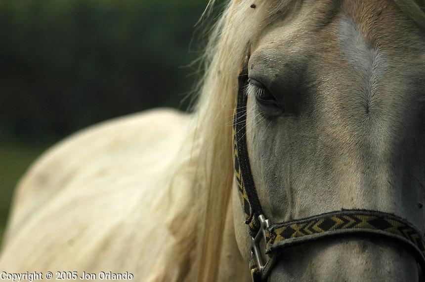Horse on the island of Kauai, Hawaii.