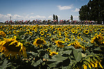 The peloton pass by sunflower fields during Stage 14 of the 2018 Tour de France running 188km from Saint-Paul-Trois-Chateaux to Mende, France. 21st July 2018. <br /> Picture: ASO/Pauline Ballet | Cyclefile<br /> All photos usage must carry mandatory copyright credit (&copy; Cyclefile | ASO/Pauline Ballet)
