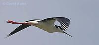 0905-0901  Flying Black-necked Stilt, Himantopus mexicanus (formerly Ephippiorhynchus asiaticus) © David Kuhn/Dwight Kuhn Photography