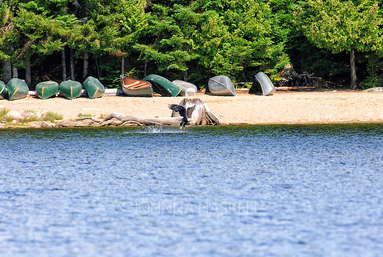Eagle fishing in front of a beach of canoes on Mooselookmeguntic Lake, Maine.