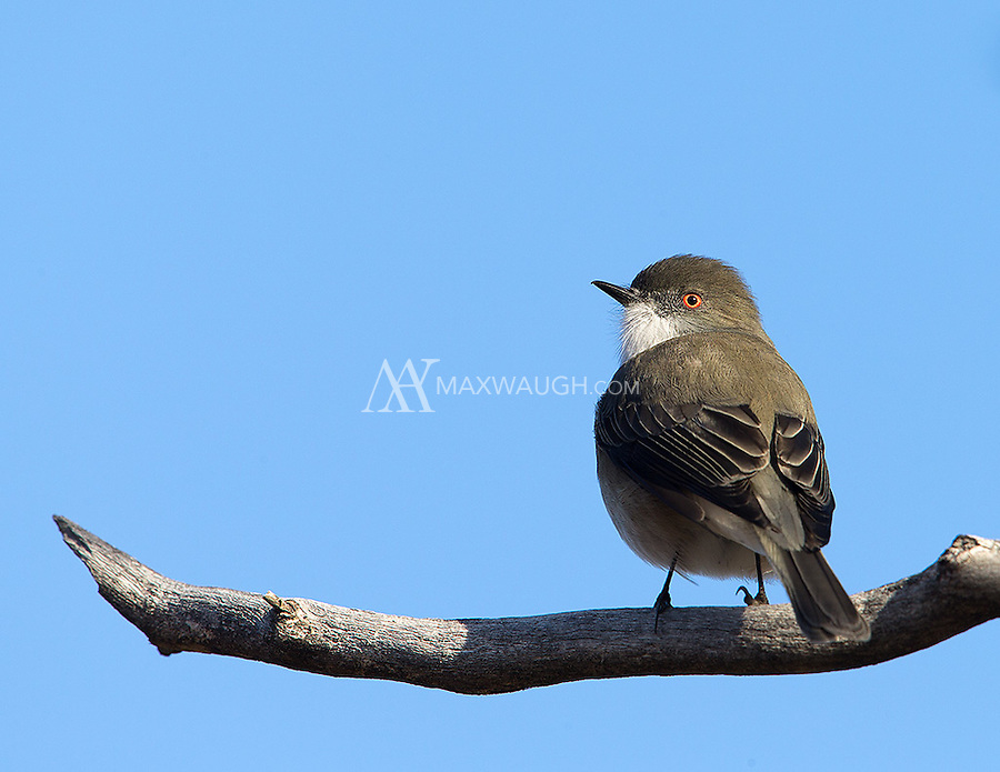 One of several small bird species found flitting about the brush and sage in Torres del Paine.