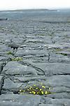 Plateau de calcaire à l'ext^reme oues tde l'ïle d'Inishmore.Au fond, le phare  de l'île de Brannock.limestone plateau ont the westrn extremitie of Inismore island. Lighthouse of Brannock island on the back