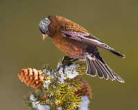 A male Gray-crowned Rosy-finch pauses for a moment atop a spruce bow.