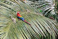 scarlet macaw, Ara macao, Tambopata National Reserve, Madre de Dios Region, Tambopata Province, Peru, Amazonia