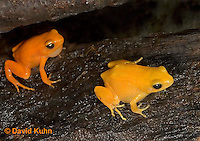 1102-07oo  Mantella aurantiaca - Golden Mantilla - © David Kuhn/Dwight Kuhn Photography