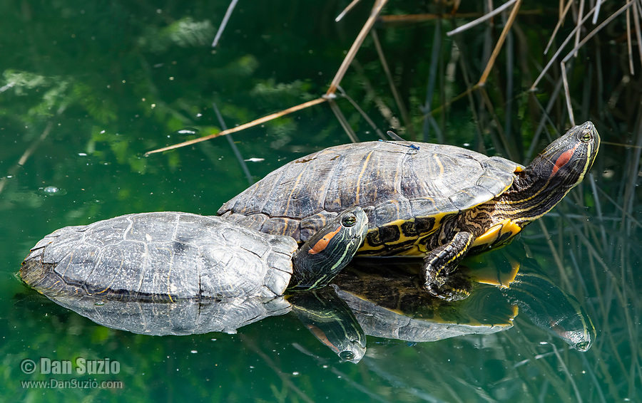 Two Red-eared Sliders, Trachemys scripta elegans, bask on a floating branch in the Riparian Preserve at Water Ranch, Gilbert, Arizona.  A damselfly (Zygoptera) rests on the larger turtle's back.