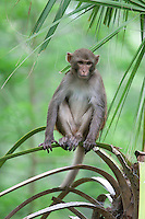 Rhesus Monkey;Macaca mulatta;  FL, Marion Co., Silver River