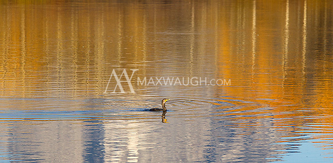 A double-crested cormorant swims across a colorful autumn reflection at Oxbow Bend.