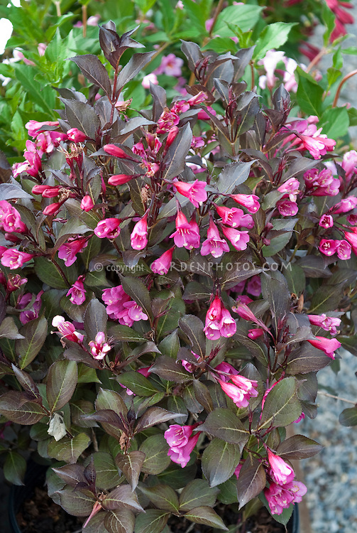 Weigela florida minor black plant flower stock for Pink flowering shrubs